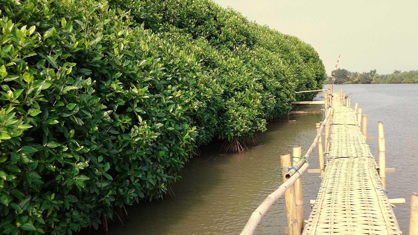 Mangrove Pantai Congot