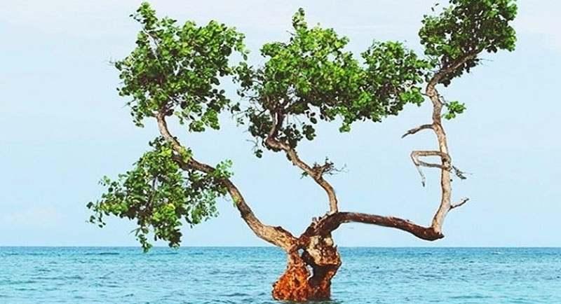 Pohon Jomblo Di Pantai Lunda Lima