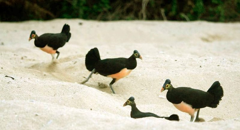 Burung Maleo Di Pantai Taipa